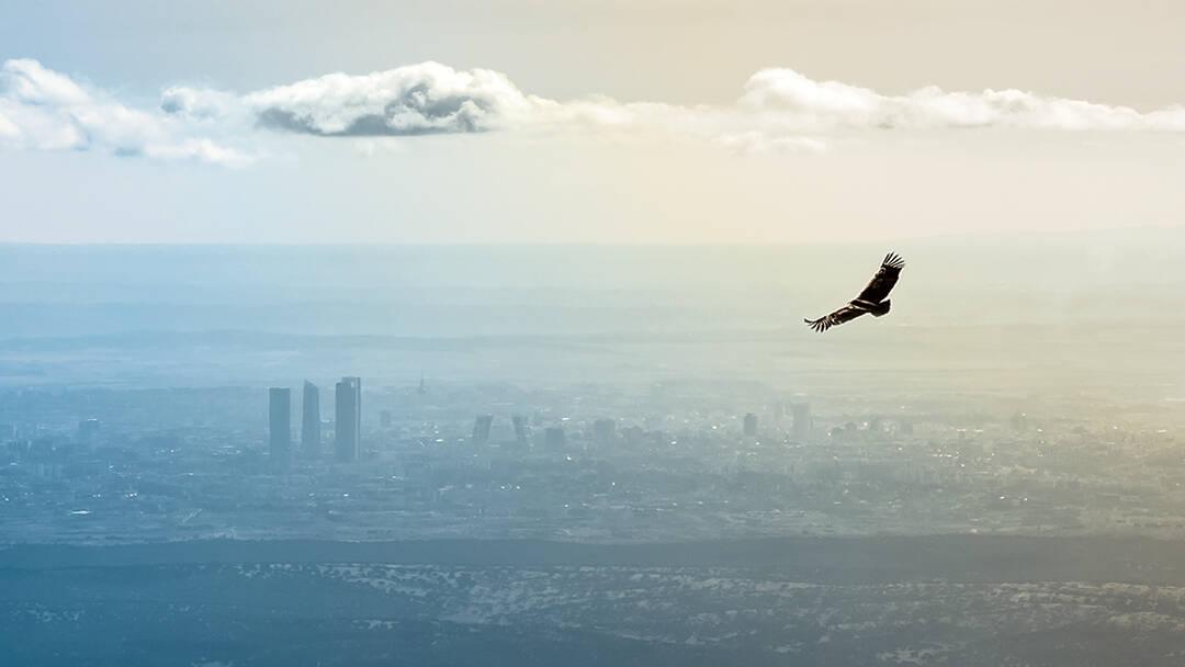 A hawk flies toward a distant city